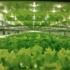 【お知らせ】7/6(金)より毎週金曜日野菜の直売スタート!人工光型植物工場幕張ファーム<ベチカ>
